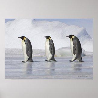 Three Emperor Penguins, Snow Hill Island Print