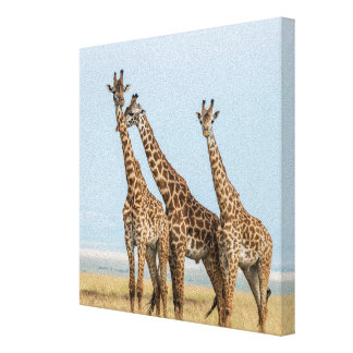 Three Giraffes Posing Canvas Print