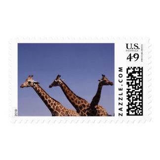 Three giraffes postage
