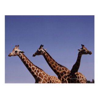 Three giraffes postcard