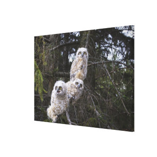 Three Great Horned Owl (Bubo Virginianus) Chicks Gallery Wrap Canvas
