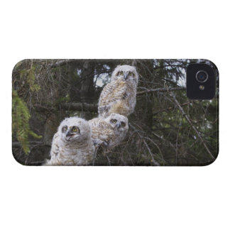 Three Great Horned Owl (Bubo Virginianus) Chicks iPhone 4 Case-Mate Cases