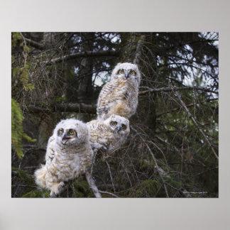 Three Great Horned Owl (Bubo Virginianus) Chicks Poster