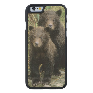 Three Grizzly Bear Cubs or Coys (Cub of the Carved® Maple iPhone 6 Slim Case