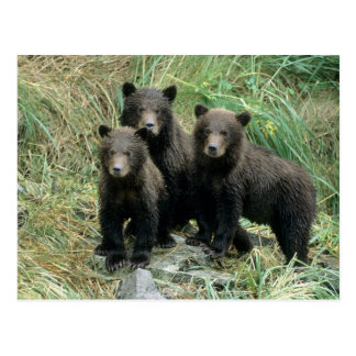 Three Grizzly Bear Cubs or Coys (Cub of the Postcard