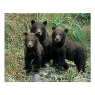 Three Grizzly Bear Cubs or Coys (Cub of the Print