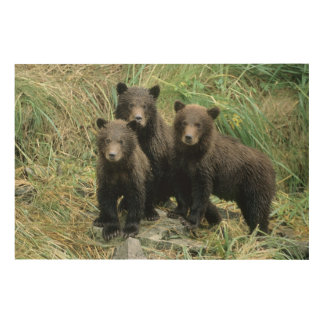 Three Grizzly Bear Cubs or Coys (Cub of the Wood Print