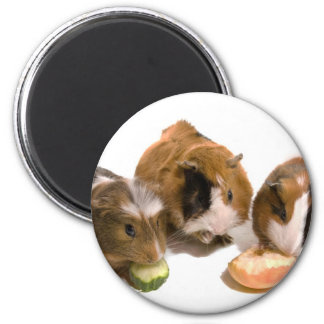 three guinea pigs who eat, 2 inch round magnet