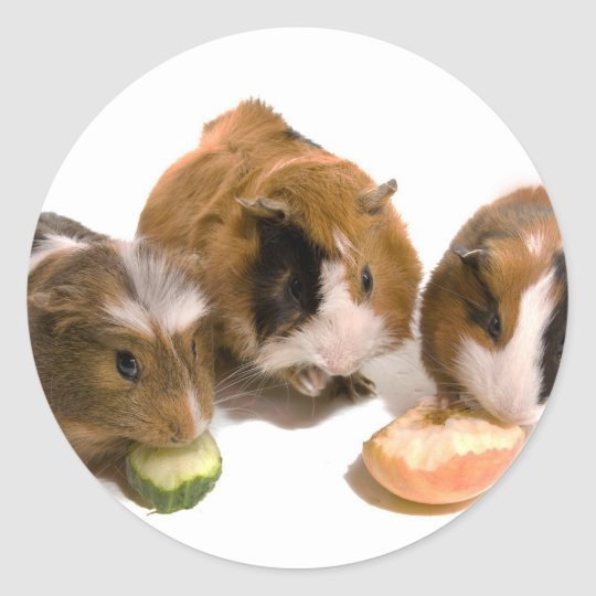three guinea pigs who eat, classic round sticker