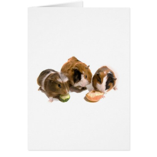 three guinea pigs who eat, greeting card