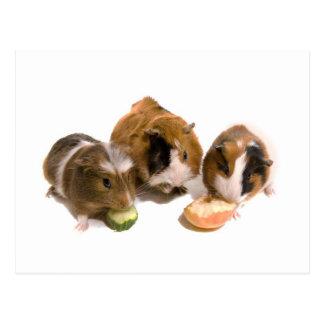 three guinea pigs who eat, postcard