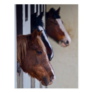 Three Horse in Stables Post Card