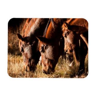 Three horses drinking in dusky light magnet