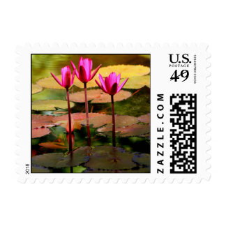 Three Hot Pink Water Lilies in Pond Postage