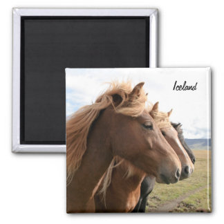 Three Iceland horses in a row Magnet
