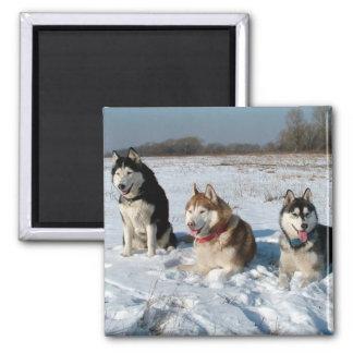Three Interesting Malamute Dogs Magnets
