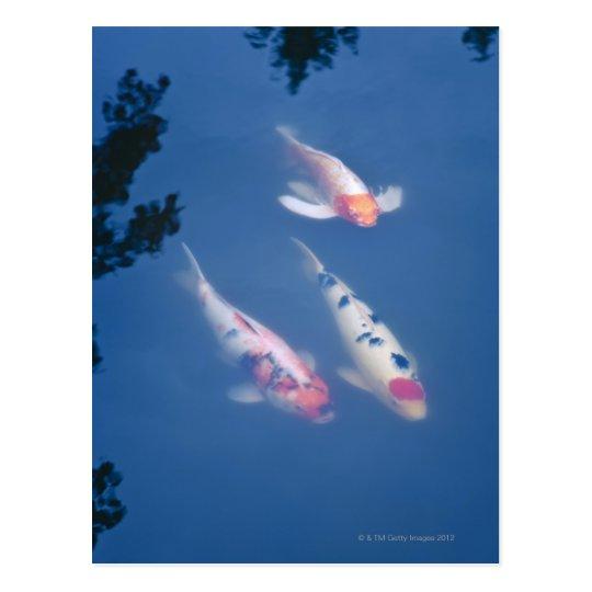 Three Japanese koi fish in pond Postcard
