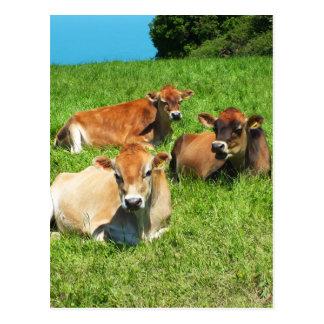 Three Jersey cows Postcard