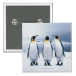 Three King Penguins Button