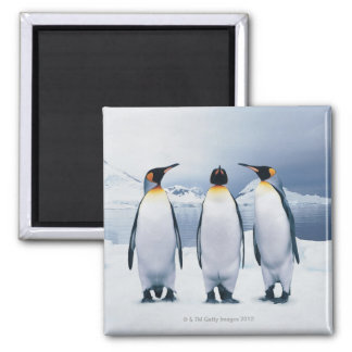 Three King Penguins Magnet