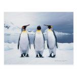 Three King Penguins Postcard