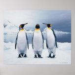 Three King Penguins Poster