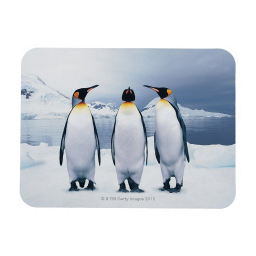 Three King Penguins Rectangular Photo Magnet
