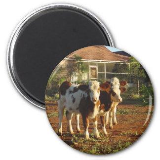Three Little Calves. Magnet
