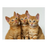 Three little kittens, red tabby, side by side. post cards