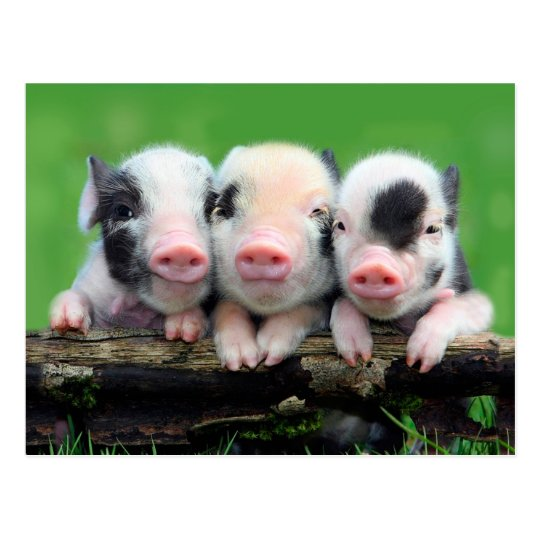 three little pigs cute pig three pigs postcard zazzle com