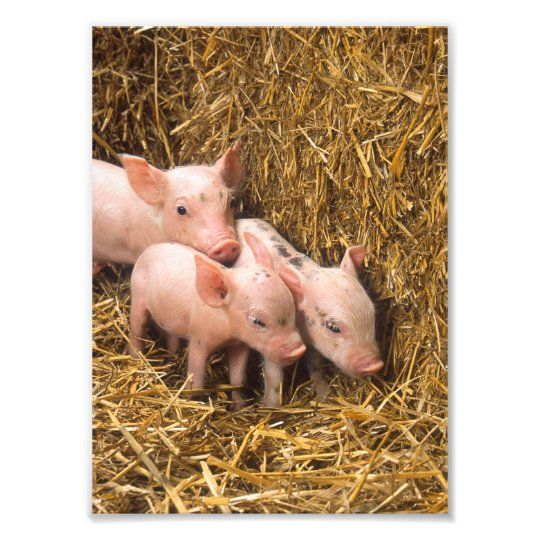 Three Little Pigs Photo Print
