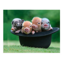 Three little pigs - three pigs - pig hat postcard
