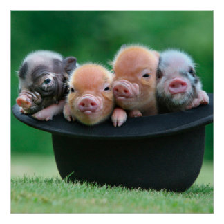 Three little pigs - three pigs - pig hat poster