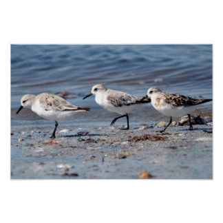 Three little stints at Quiberon in France Poster