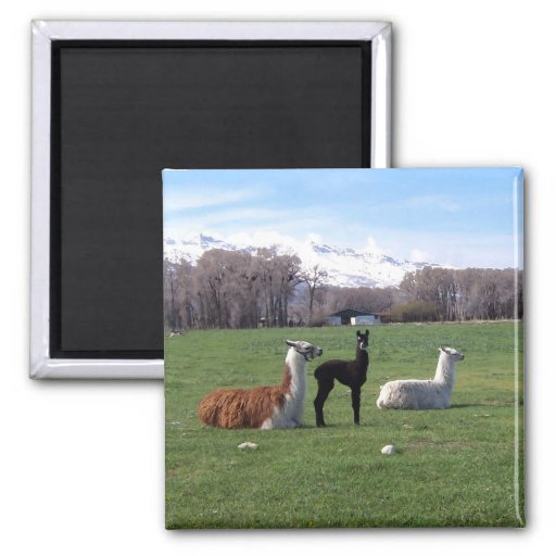 Three Llamas In Field 2 Inch Square Magnet