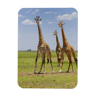 three Masai giraffes, Giraffa camelopardalis Magnet