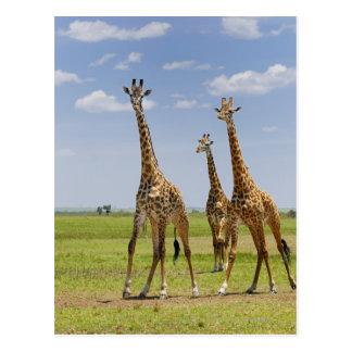 three Masai giraffes, Giraffa camelopardalis Postcards