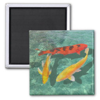 Three Mixed Koi in a Pool 2 Inch Square Magnet