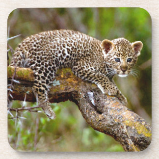 Three Month Old Leopard (Panthera Pardus) Cub Drink Coaster
