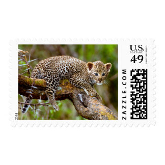 Three Month Old Leopard (Panthera Pardus) Cub Stamp