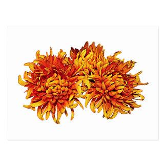 Three Orange Pom Pom Mums Postcard