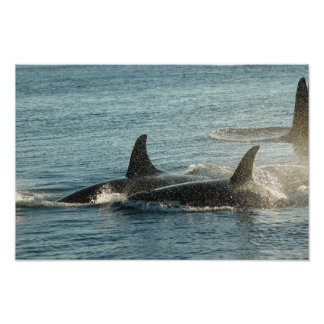 Three Orcas at Sunset Poster