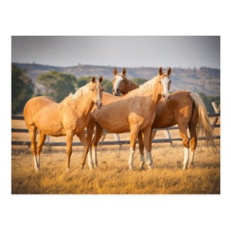 Three Palomino Ponies Postcard