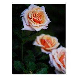 Three Peach Roses Postcard