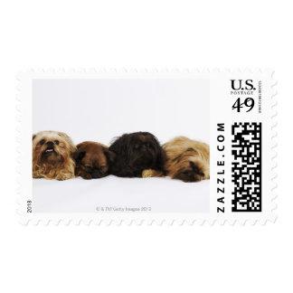 Three Pekingese dogs and single Pug lying down Postage