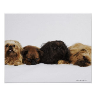Three Pekingese dogs and single Pug lying down Poster