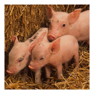 three piglets poster