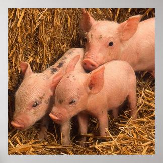 three piglets poster