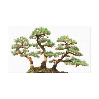 three pine bonsai trees canvas print