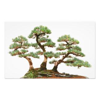 three pine bonsai trees photo print